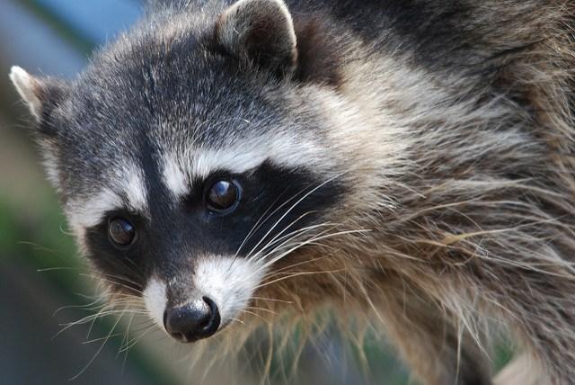 Raccoon (David Slater / Flickr)