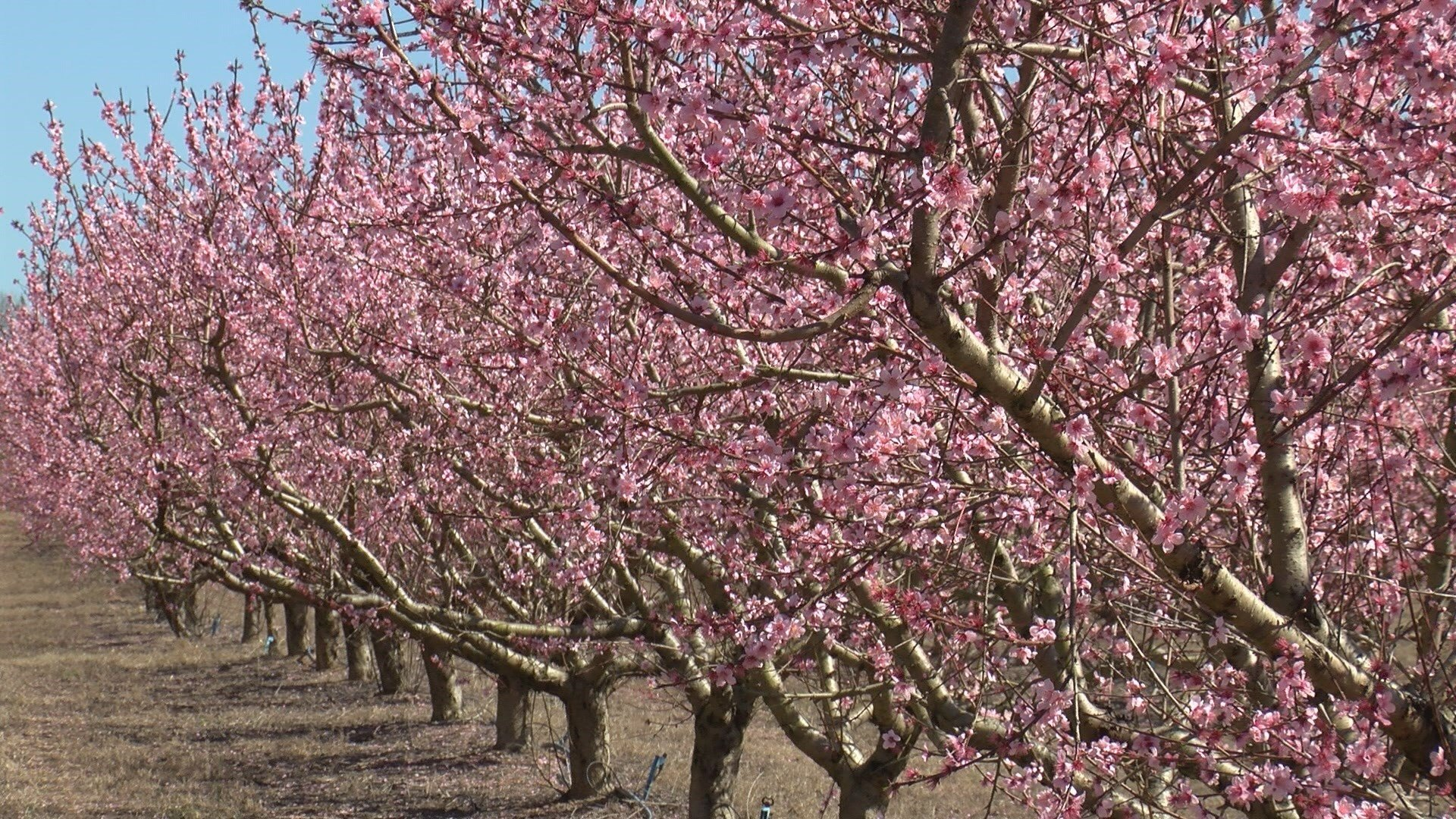 Peach trees bloom in Edgefield County, SC (WFXG)