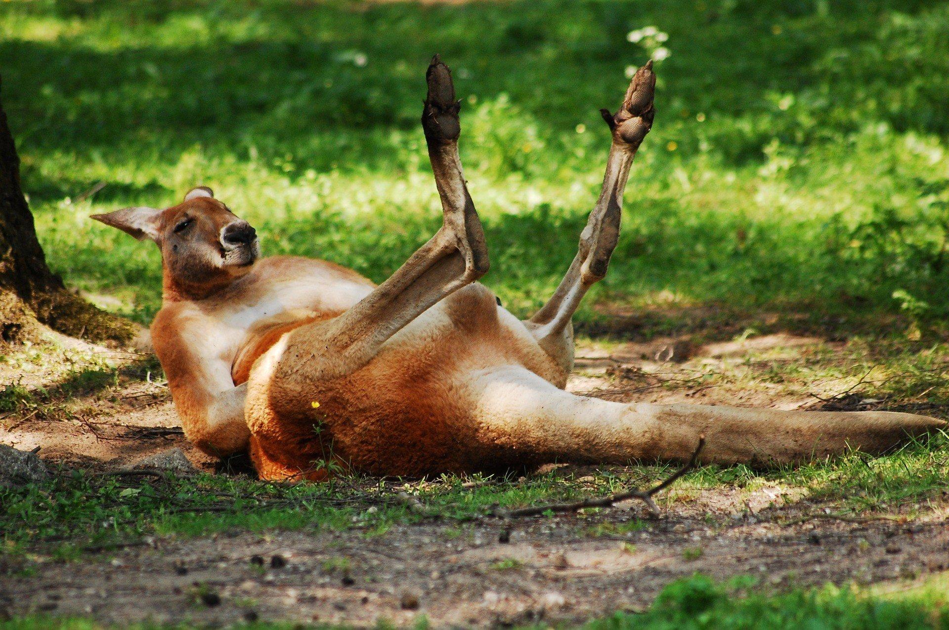 Kangaroo (source: Pixabay)