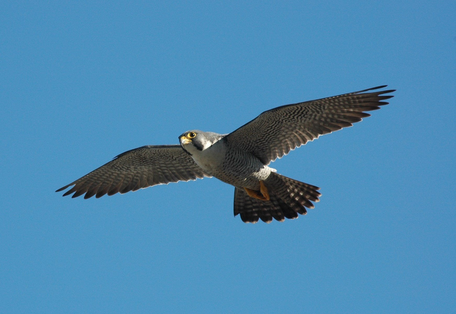 Peregrine Falcon (GADNR)